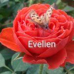 Medium Evelien